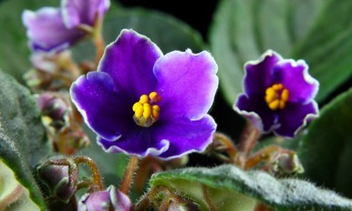 Advanced Hort. Course - African Violet