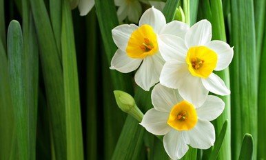 Advanced Hort. Course - Narcissus